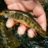 FTF Fly Pattern -  TIER - F... - last post by yooperflyfisher